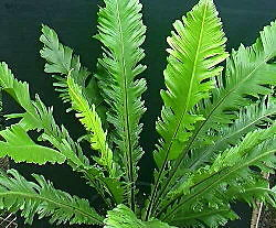 January Fern Collection
