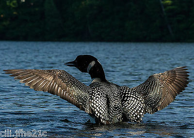 Only Picture of USA loon in Lake