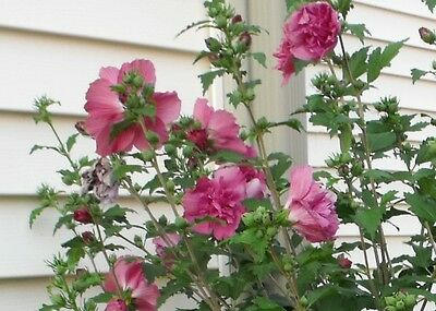1 Red Althea Tree Shrub Rose Of Sharon Hibiscus Syriacus 2 To 3