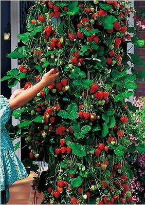 Home Garden 100pcs Seeds Chinese Strawberry Seeds Delicious Fruits four season