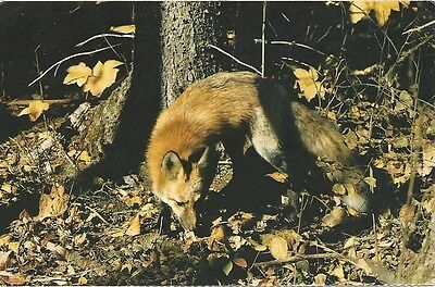 "Vintage collectible 3.5"" x 5.5"" POSTCARD Canada Red Fox woodland creature"