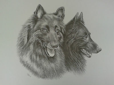 Print of a study of two Belgian Shepherd Dogs / GSDs by S. Winterburn