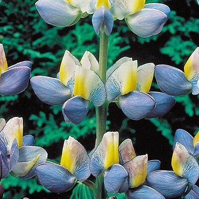 Lupin Seeds - SUNRISE -  Lupine -Cottage Country Perennial Favorite  - 10 Seeds