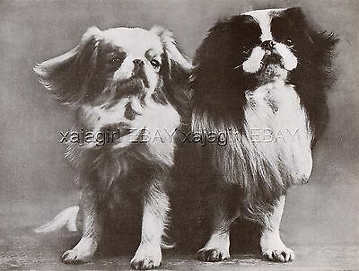 DOG Japanese Chin Champions (Named), Vintage Print 1930s
