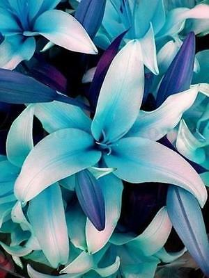 LOCAL AUSSIE STOCK - Blue Heart Lily, Flower Seeds ~10x FREE SHIPPING