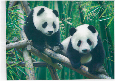 Panda animalphotography 3D Lenticular  Holographic Stereoscopic Picture Wall Art