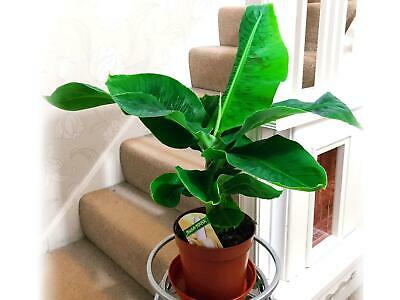 Ethiopian Ornamental Banana House Office Plant Musa Tropical Indoor Tree in pot