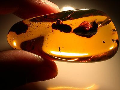 Beautiful Chiapas Mexican Amber GEM with Pyritized Botanical Remains LARGE 18 g