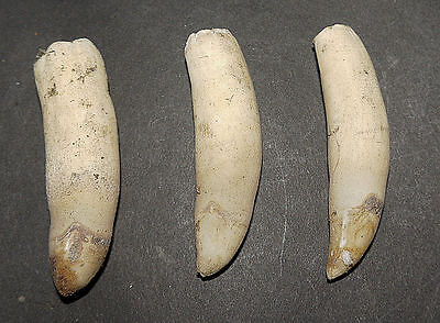 3 Crocodile Teeth Crocodylus novaeguineae Papua New Guinea