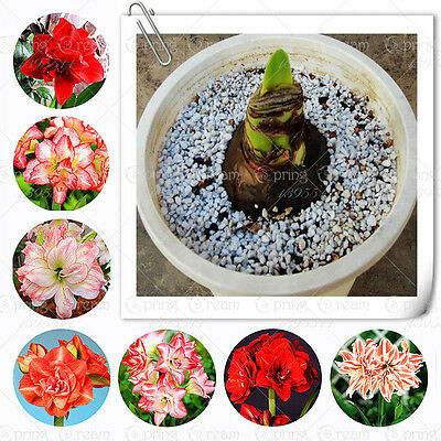 Great Deal amaryllis,Japanese hippeastrum Barbados Lily bulbs home garden plant