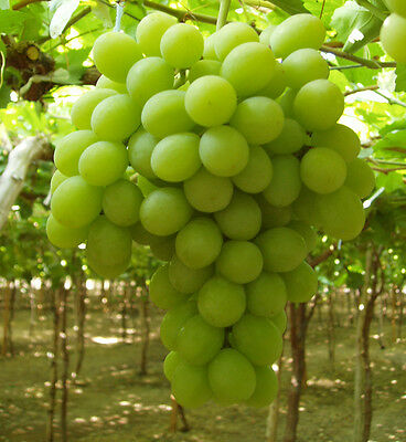 Sugraone - Superior Seedless Grapes 5 Fresh Cuttings