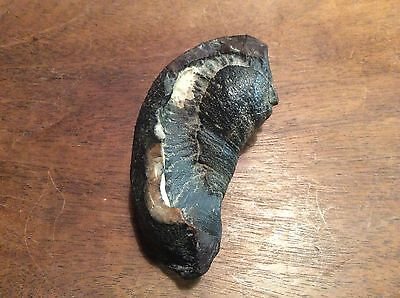 Fossil Whale Ear Drum