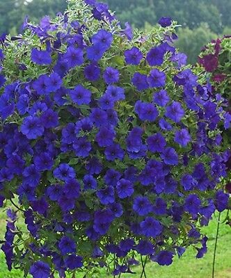 TRAILING SUPERTUNIA MINI DEEP BLUE(Petunia Hybrid) For Hanging Baskets 50+ seeds