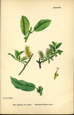 Exquisite SOWERBY Antique Print Botanical TEA-LEAVED SALLOW L3  1859 - H/col