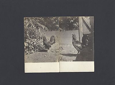 2 Vintage Real Photo Postcards of a Rooster Early 1900's
