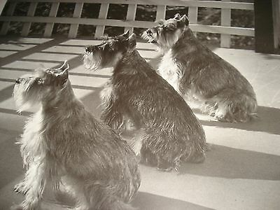 """BEAUTIFUL FAMOUS FRAMED PHOTOGRAPH  by ILSE BING """"Trois Ombres"""" of 3 SCHNAUZERS"""