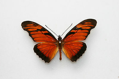 Butterfly x1 male Dione juno (Trinidad)