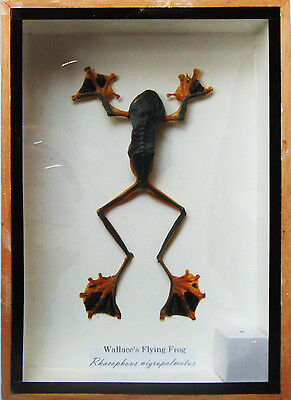 Real Wallace's Flying Frog Mounts Animals Taxidermy in Wooden Box