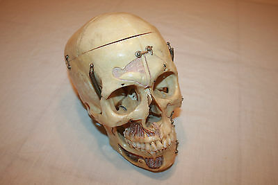 Antique Human Dissected Skull Model Medical Lifesize Realistic 1:1