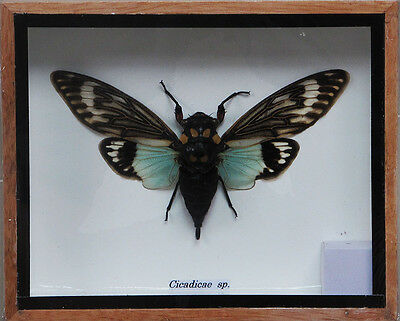 Real Exotic Cicada Blue Wings - Taxidermy Collection  in Wooden Box