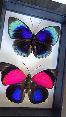 Real Framed Butterfly *agrias Beata, Agrias Claudina Lugens**special Butterflies