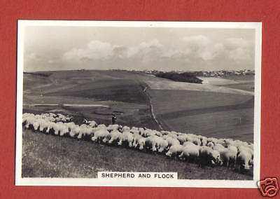 Shepherd & Sheep on East Brighton Golf Course Sussex 1937 original photocard
