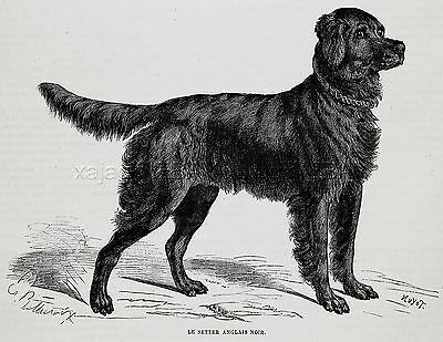 Dog Flat-Coated Retriever, Breed ID'd, 1870s Antique Print & Article