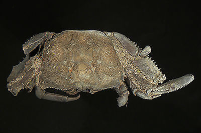 """96 mm MALE FOSSIL CRAB, 1 CLAW, """"macrompthalus latrielli"""" FROM QUEENSLAND"""