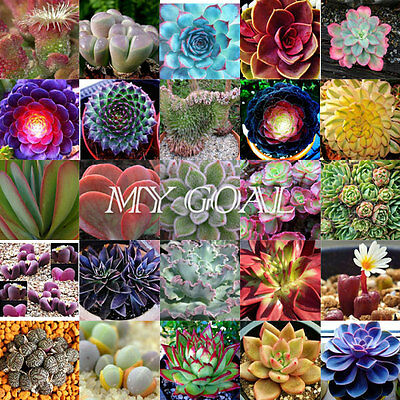 Sempervivum Cyclops Exotic Echeveria Succulent Seeds Cactus Blue Red Seed Stone