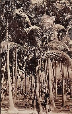 """India Madras Toddy Drawers """"Photographic Glosso"""" palm trees"""