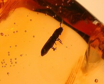 RARE Cucujidoid Flat Bark Beetle in Authentic Dominican Amber Gemstone