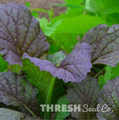 Cold Hardy Japanese Heirloom Greens Seeds 3gr to 25gr Giant Red Mustard Seed