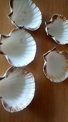 6 x Large Scallop shell natural clam/scallop shells