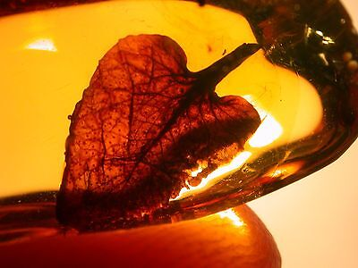 EXTINCT Hymenaea Flower Petal with Glands in Authentic Dominican Amber Gemstone
