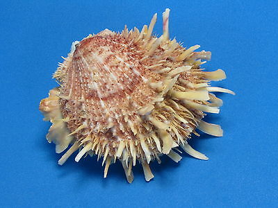 "Spondylus variegatus f. barbatus REEVE,1856  ""NICE COLOR!""  (76.0mm)"