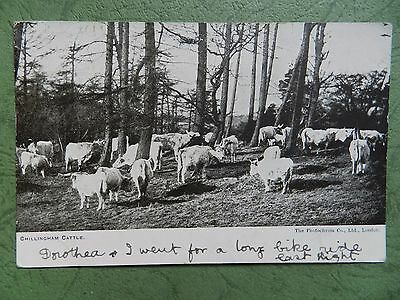 Old Postcard - Chillingham Cattle , Northumberland