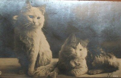 1912 - Cpa Photo - Chats Blancs - Animaux