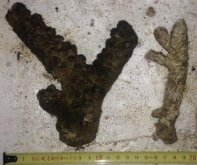 2 SMALL PIECES TONGAN BRANCH LIVE ROCK 580g FOR MARINE REEF AQUARIUM FISH TANK