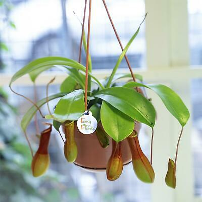 Tropical Nepenthes Alata Monkey Cups Pitcher Plant House Office Fly Catcher Trap