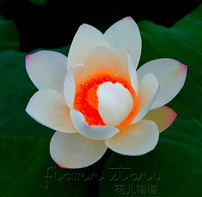 US FREE SHIPPING 20 Pcs of Rare Red Heart Lotus Seeds Gorgeous Aquatic Plants