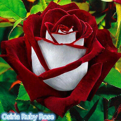 100PCS Red White Perennial Osiria Flower Seeds Ruby Rose Garden Plant Bonsai