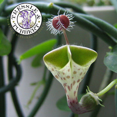 Rare Ceropegia haygarthii var. distincta, Carnivorous Flower - 5 seeds - UK SELL