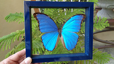 Real Framed Butterfly  **blue Peruvian Morpho Didius**mounted Double  Glass .