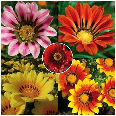 "BULK Gazania ""Intrepid™ Hybrid Mix"" seeds 