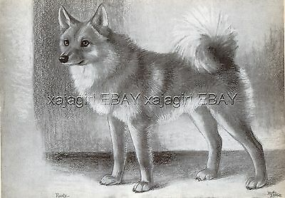DOG Finnish Spitz Spets (Named) Sketch Portrait, Beautiful Art Print from 1930s