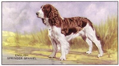 DOG Springer Spaniel (English). Trading Card, 1930s