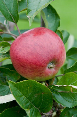 Dabinett Cider Apple Tree Dwarf Variety Great for Smaller Gardens Apx 5-6ft - 3y