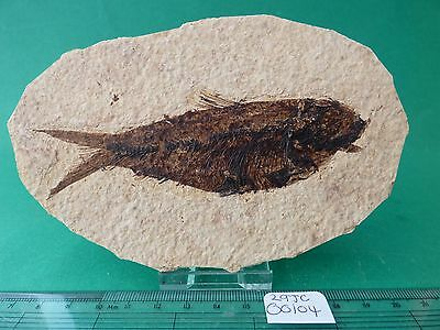 Knightia fossil fish. Circa 48 m.y.o. Green River formation.Free display stand