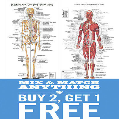 A2  Human ANATOMY Muscular Skeletal Student Medical Posters Prints Charts Chart