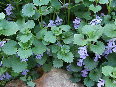 2 X Alehoof, Ground Ivy - Glechoma hederacea - Perennial Groundcover Herb